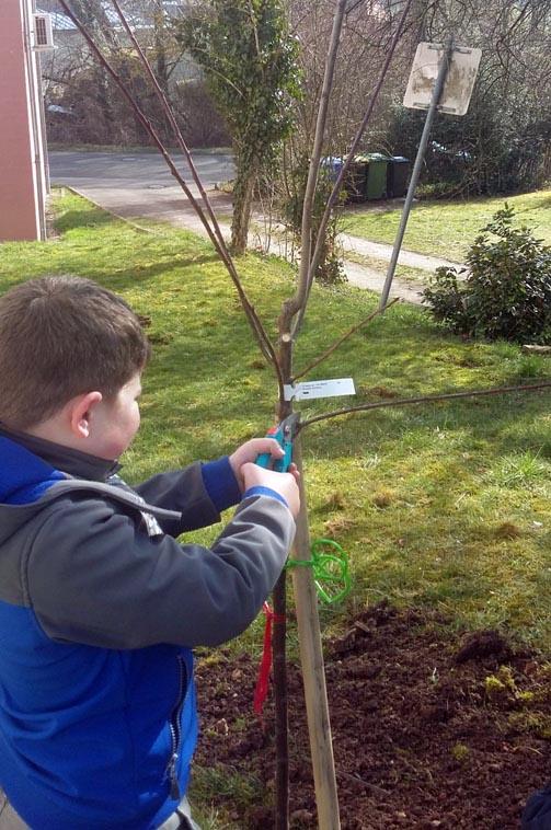 Schüler schneidet Obstbaum im Schulgarten.
