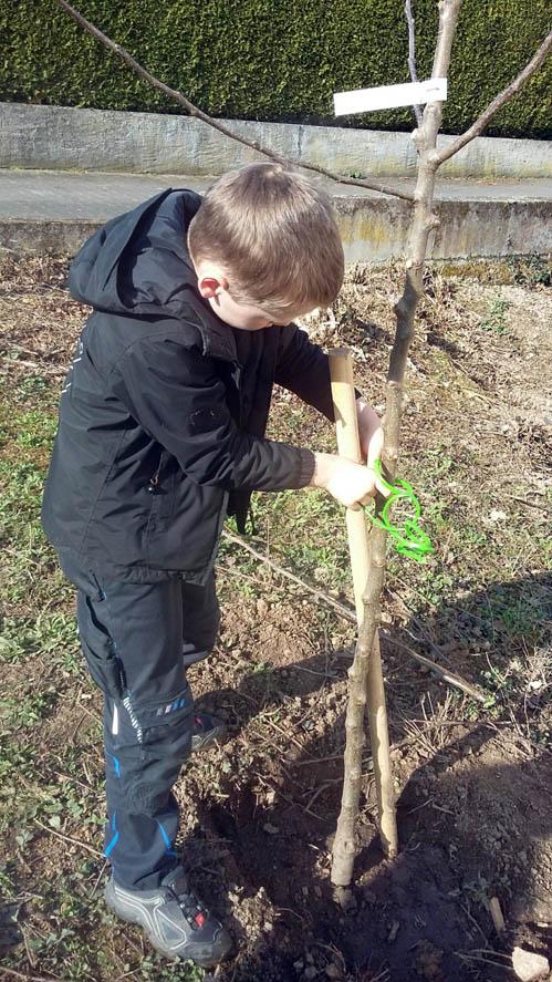 Schüler legt im Schulgarten ein Bindeband um Baumstämmchen und Pflanzpfahl.