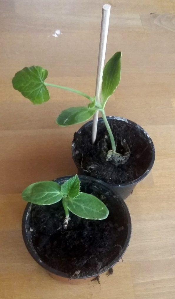 Pflanzentriebe die im Schulgarten in die Beete gesetzt werden sollen.