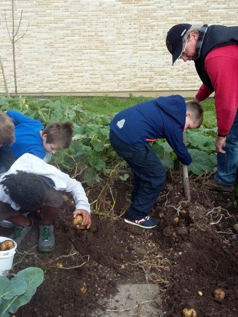 Unser Schulgarten (7): Die Kartoffelernte