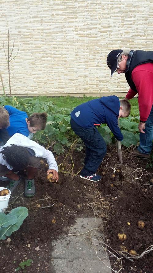 Die Kinder heben mit den Forken die Kartoffeln im Schulgarten vorsichtig aus dem Beet.