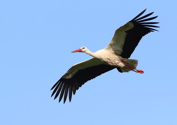 Weißstorch beim Flug. Der Weißstorch ist einer der bekanntesten Zugvögel.