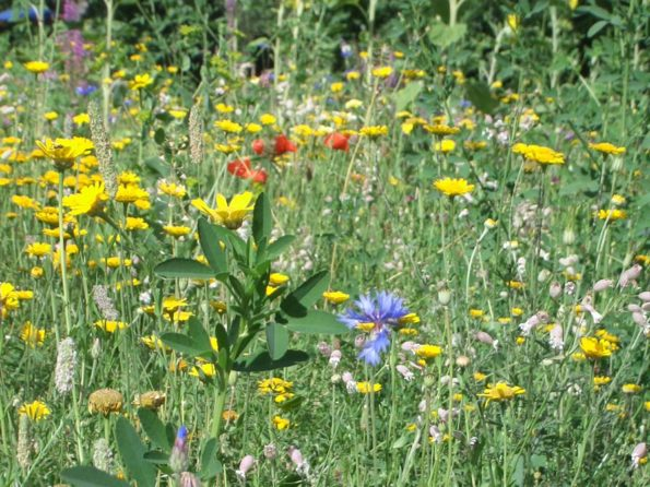 Naturwiese mit vielen bunten Blüten, die im Rahmen der Umwelterziehung besucht werden kann.